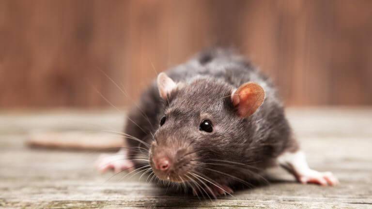 Har du set en rotte?